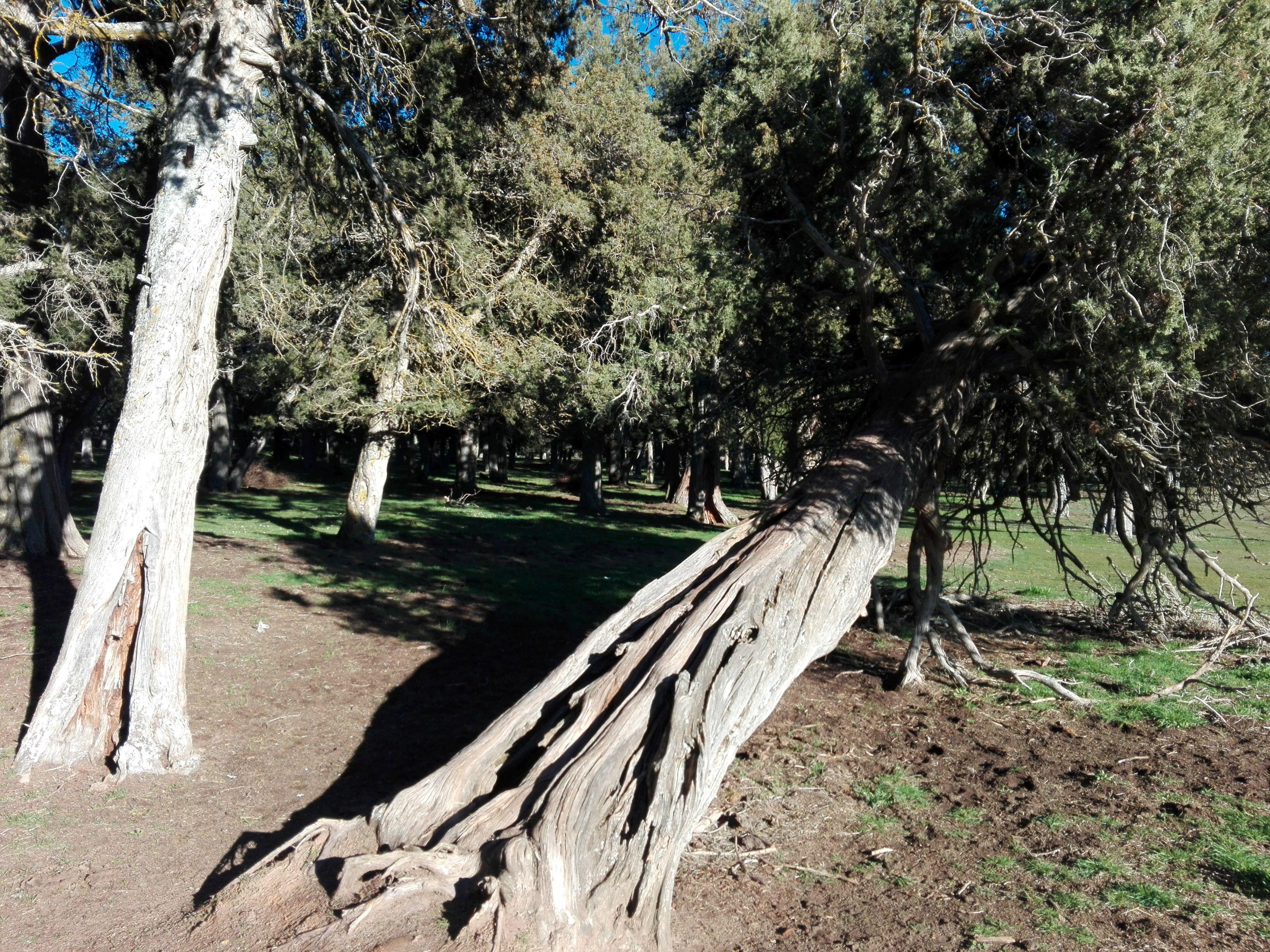Reserva Natural 'Sabinar de Calatañazor'