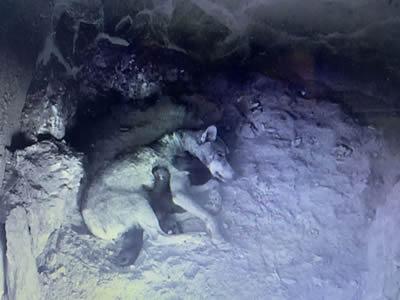 El Centro del Lobo cobija a cuatro nuevos lobeznos