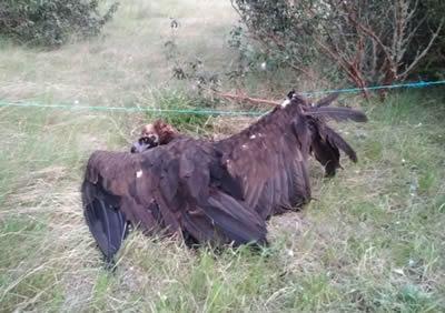 La Junta recupera un buitre negro herido en Casarejos (Soria)