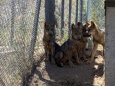 Los lobeznos, Sanabria, Tera, Mancha y Llagu, cumplen sus primeros meses de vida en el Centro del Lobo