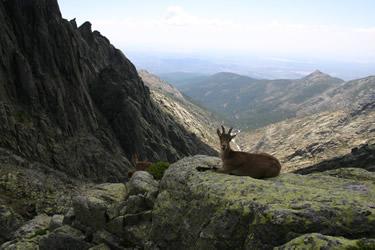 Sierra de Gredos. Cabra en Galayos. Fauna (Avila)