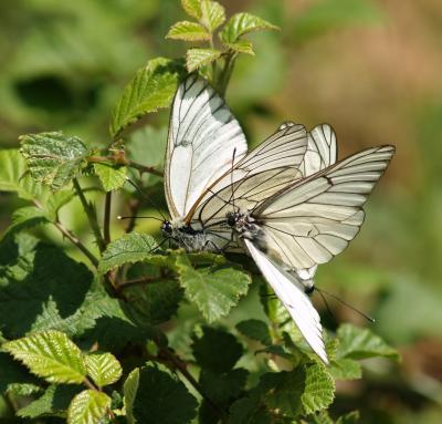 Descubre las mariposas del Valle de Iruelas.
