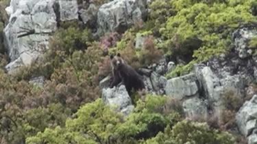Se inicia el primer censo genético nacional de oso pardo cantábrico