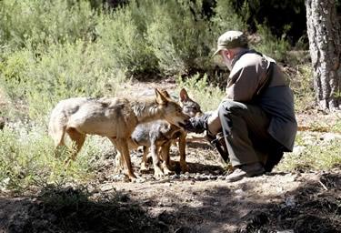 El Centro del Lobo Ibérico de Castilla y León estrena un observatorio - pasarela para ver a la nueva  manada, tres cachorros y sus padres