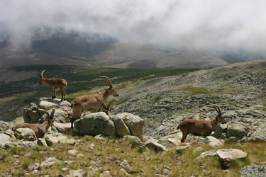 Sierra de Gredos. Cabra Montes Machos. Fauna (Avila)